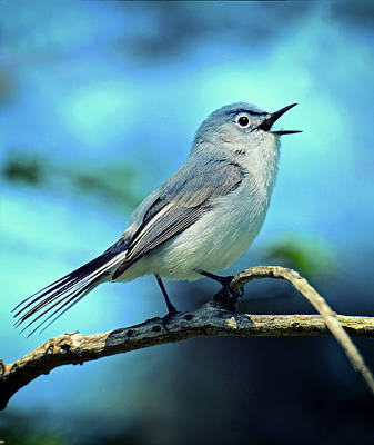 Photograph - Blue-gray Gnatcatcher by Rodney Campbell