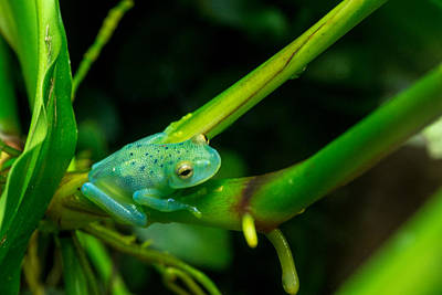 Photograph - Blue-green Tropical Frog Sitting by Douglas Barnett