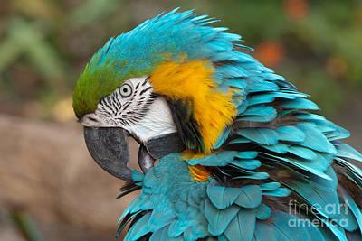Blue-green-yellow Macaw Art Print by Svetlana Ledneva-Schukina