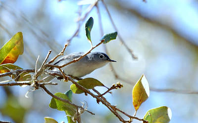 Blue Grey Gnatcatcher Art Print by Steven Scott