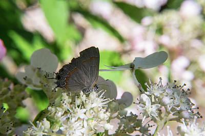 Photograph - Blue Grey Hairstreak Feeding On Flower Blossoms by Douglas Barnett