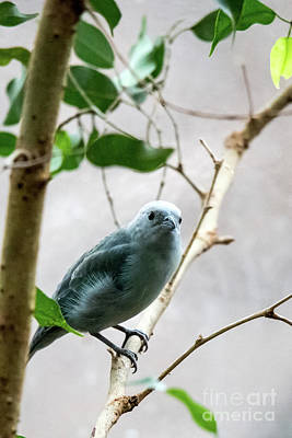 Photograph - Blue-grey Tanager 2 by Ed Taylor