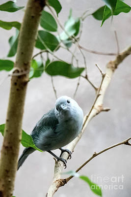 Photograph - Blue-grey Tanager by Ed Taylor