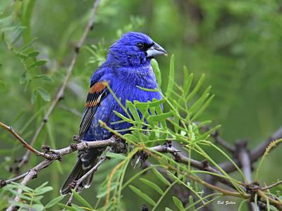 Photograph - Blue Grosbeak by Bob Zeller