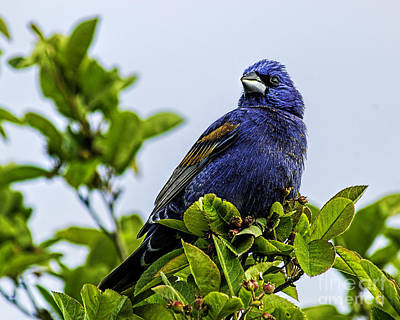 Photograph - Blue Grosbeak In A Tree by Nick Zelinsky
