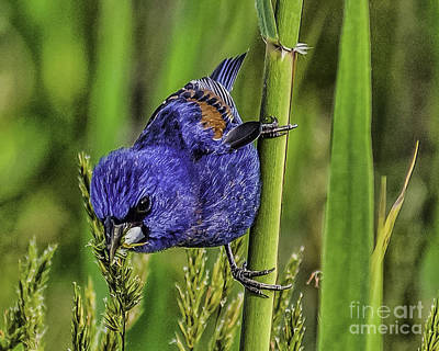 Photograph - Blue Grosbeak On A Reed by Nick Zelinsky