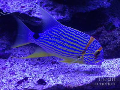 Photograph - Blue Fish Groupie by Richard W Linford