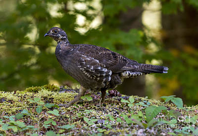 Blue Grouse Hen Art Print by Mike Dawson