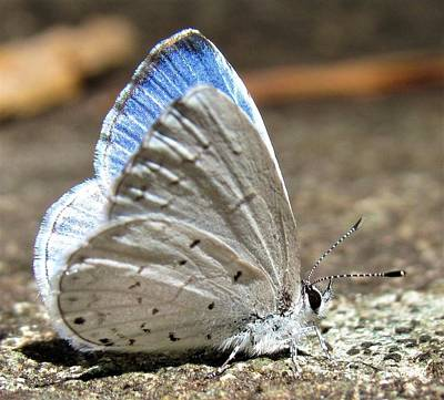 Photograph - Blue Hairstreak by Joshua Bales