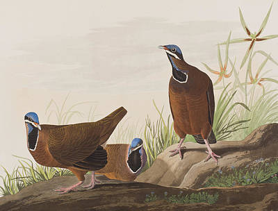 Pigeon Painting - Blue Headed Pigeon by John James Audubon
