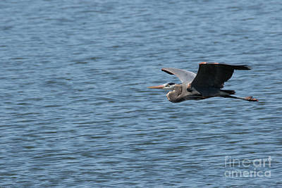 Photograph - Blue Heron # 1 by Geraldine DeBoer