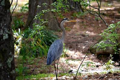 Photograph - Blue Heron 15-01 by Maria Urso