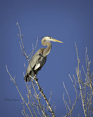 Photograph - Blue Heron 19 by Roger Snyder