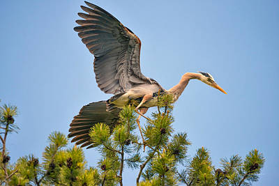 Photograph - Blue Heron 2 by Leland D Howard
