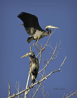 Photograph - Blue Heron 21 by Roger Snyder