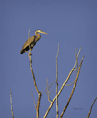 Photograph - Blue Heron 28 by Roger Snyder