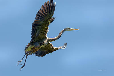 Photograph - Blue Heron 7 by Leland D Howard