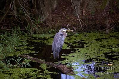 Photograph - Blue Heron 8 by Randy Matthews