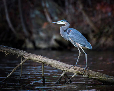 Photograph - Blue Heron by Alan Raasch