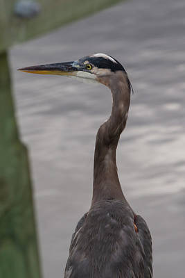 Photograph - Blue Heron by Allan Morrison