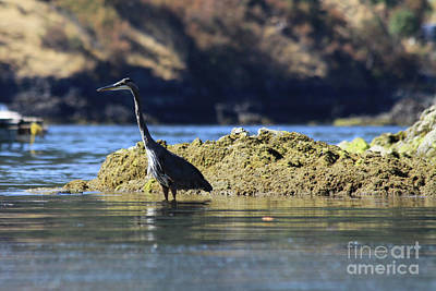 Photograph - Blue Heron by Alyce Taylor