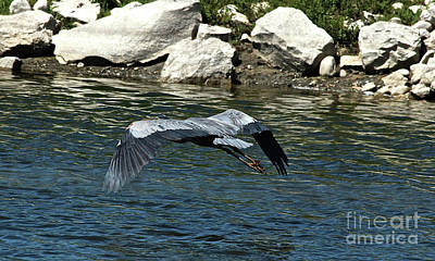 Photograph - Blue Heron by Ann E Robson