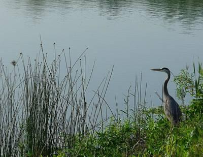 Photograph - Blue Heron by Anna Villarreal Garbis