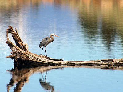 Blue Heron At Lake Shastina Art Print