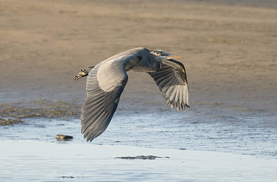 Photograph - Blue Heron At Low Tide by Loree Johnson