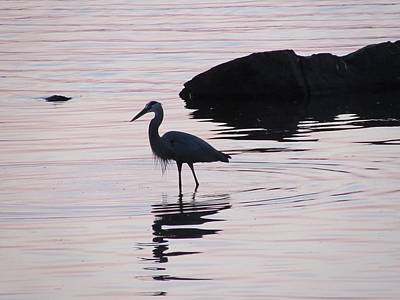Photograph - Blue Heron at Sunset at Pymatuning State Park by David Witoslawski