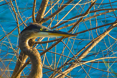 Photograph - Blue Heron At Sunset - Head Shot by S Michael Basly - PhotoGraphics By S Michael