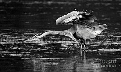 Photograph - Blue Heron At The Ready 2 by Sue Harper