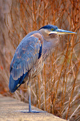 Manayunk Photograph - Blue Heron by Bill Cannon