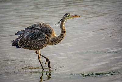Photograph - Blue Heron by Bill Posner