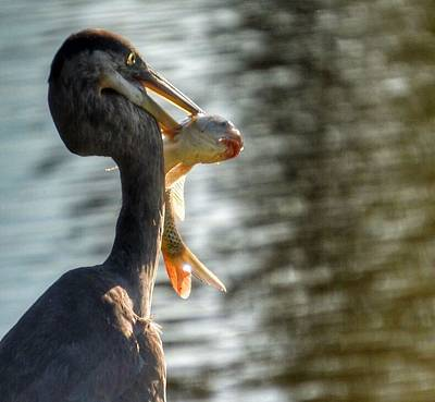 Photograph - Blue Heron Breakfast by Sumoflam Photography