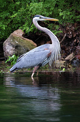 Photograph - Blue Heron by Bud Simpson