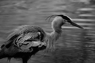 Photograph - Blue Heron Bw 15-02 by Maria Urso