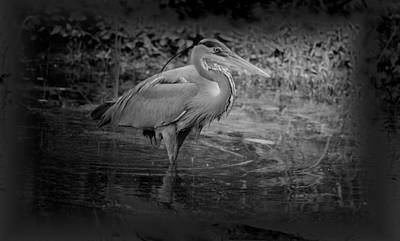 Photograph - Blue Heron Bw 15-03 by Maria Urso