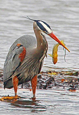 Photograph - Blue Heron Catches Fish by Bill Woodstock