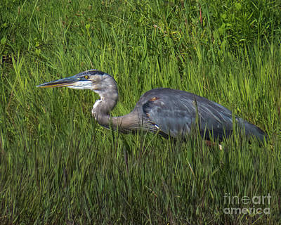 Photograph - Blue Heron by Christy Garavetto