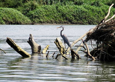 Photograph - Blue Heron Costa Rica by Randall Weidner