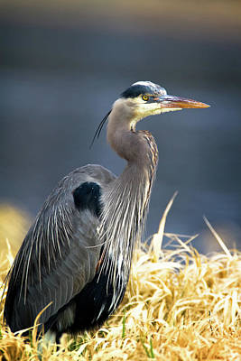 Photograph - Blue Heron by Craig Strand