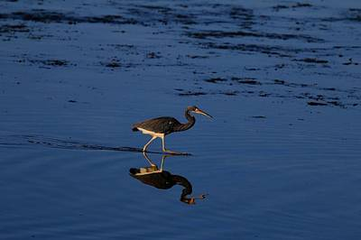 Sports Royalty-Free and Rights-Managed Images - Tri color heron by David Tennis
