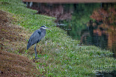 Photograph - Blue Heron Fall Reflections by Dale Powell