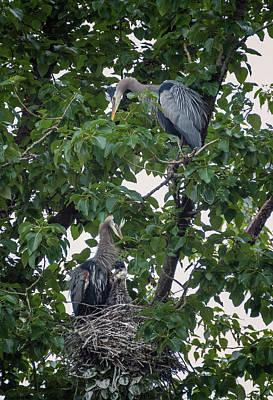 Photograph - Blue Heron Family Portrait by Loree Johnson