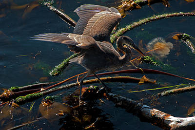 Photograph - Blue Heron Fishing by Chris LeBoutillier