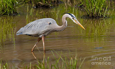 Photograph - Blue Heron Fishing 1 by Kevin McCarthy