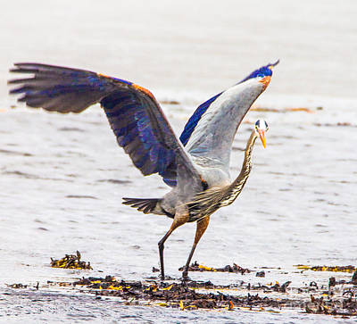 Photograph - Blue Heron Flapping by Bill Woodstock