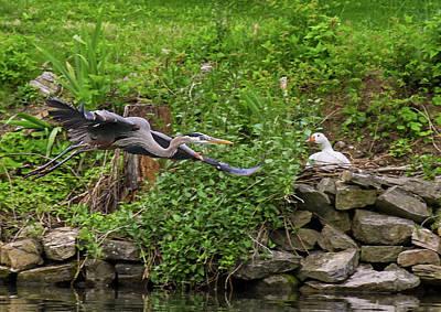 Photograph - Blue Heron Flies By Onlooker by Bill Jordan