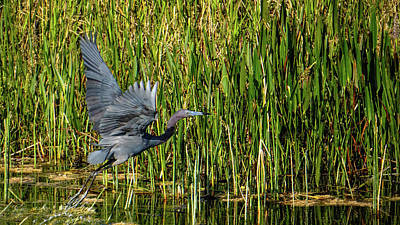 Photograph - Blue Heron Flight Boynton Beach Florida by Lawrence S Richardson Jr